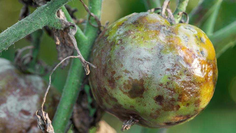 common-plant-infestation-ruin-hydroponics-garden-3dponics